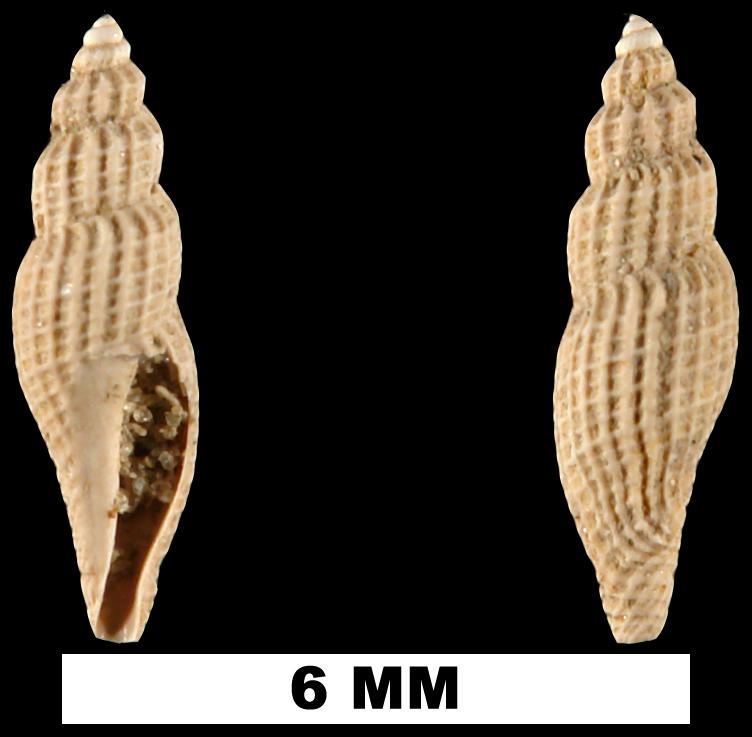 <i>Vitricythara metria</i> from the Late Pliocene Jackson Bluff Fm. of Leon County, Florida (UF 69084).
