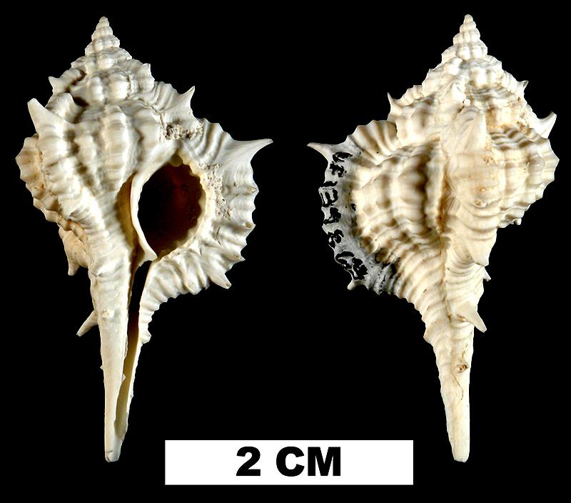 <i>Vokesimurex bellegladeensis</i> from the Middle Pleistocene Bermont Fm. of Palm Beach County, Florida (UF 139863).