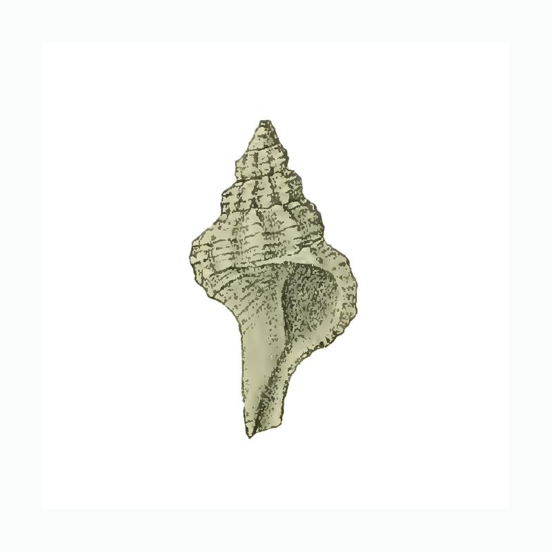 Specimen of <i>Vokesimurex gilli</i> figured by Maury (1910, pl. 5, fig. 3); 9 mm in length.