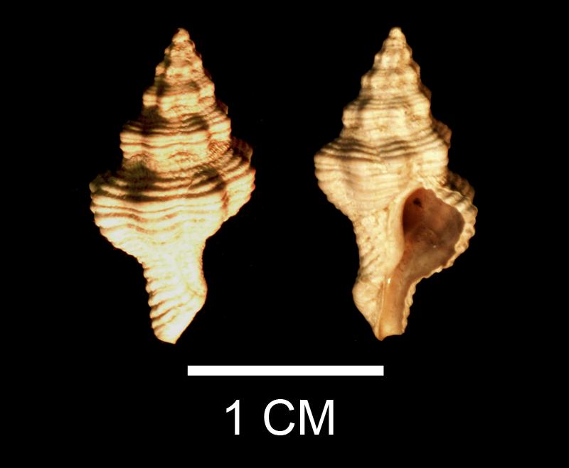 <i>Vokesinotus perrugatus</i> from the Late Pliocene Tamiami Fm. (Pinecrest Beds) of Sarasota County, Florida (SDSM 138366).