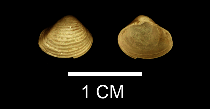 <i>Vokesula chowanensis</i> from the Late Pliocene Yorktown Fm. of Isle of Wight County, Virginia (SDSM 136182).
