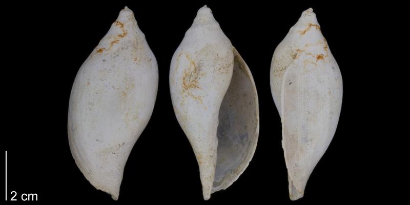 <i>Volutifusus typus</i> from the lower Pleistocene James City Formation of Beaufort County, North Carolina (PRI 70473).