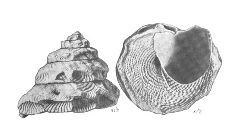 Specimen of <i>Xenophora floridana</i> figured by Mansfield (1930, pl. 18, fig. 5 and 6); 30 mm.