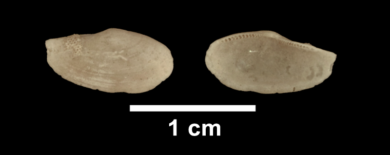 <i>Yoldia laevis</i> from the Late Pliocene Yorktown Fm. of Suffolk County, Virginia (SDSM 136153).