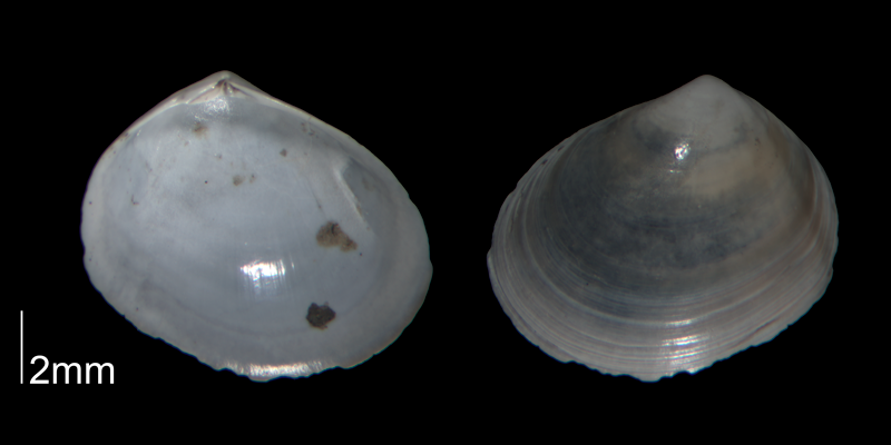 <i>Abra aequalis</i> from Kelley Station 6992 of North Carolina (PRI 70416).