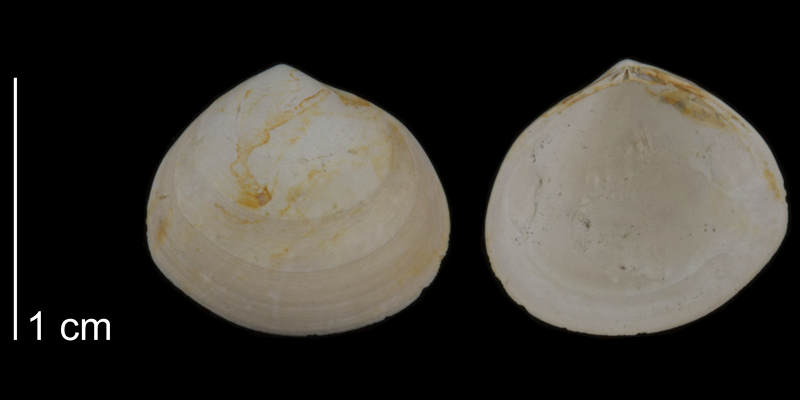 <i>Abra aequalis</i> from Kelley Station 6987 of North Carolina (PRI 70511).