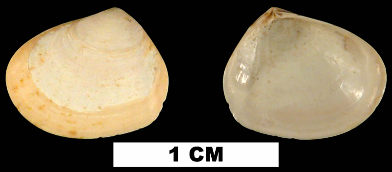 <i>Abra aequalis</i> from the Early Pleistocene Waccamaw Fm. of Horry County, South Carolina (UF 214314).