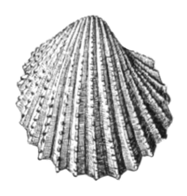 Specimen of <i>Acanthocardia propeciliare</i> figured by Dall (1900, pl. 48, fig. 12); 20.0 mm in length.