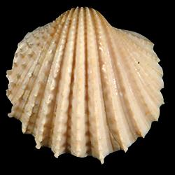 Acanthocardia