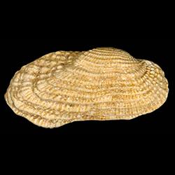 Acar reticulata