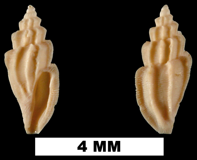 <i>Agathotoma candidissima</i> from the Early Pleistocene Caloosahatchee Fm. of Charlotte County, Florida (UF 209149).