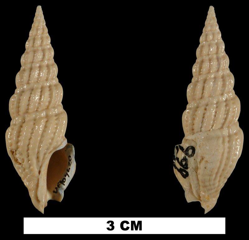 <i>Agladrillia aulakoessa</i> from the Early Miocene Chipola Fm. of Calhoun County, Florida (UF 104620).