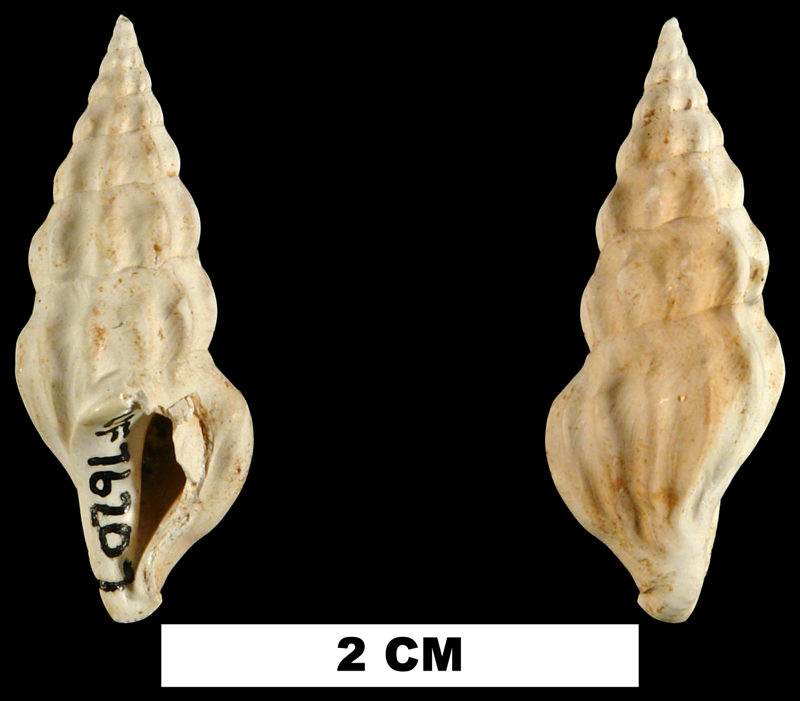 <i>Agladrillia rabdotacona</i> from the Middle Miocene Shoal River Fm. of Walton County, Florida (UF 76207).