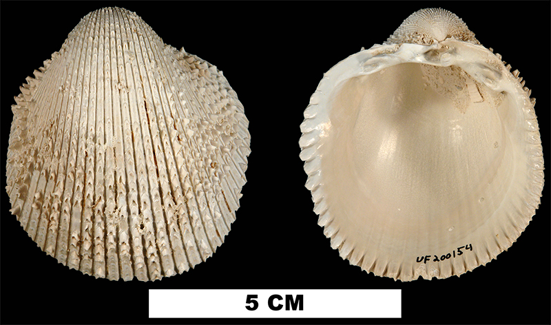 <i>Agnocardia spinosifrons</i> from the Late Pliocene Tamiami Fm. (Pinecrest Beds) of Collier County, Florida (UF 200154).