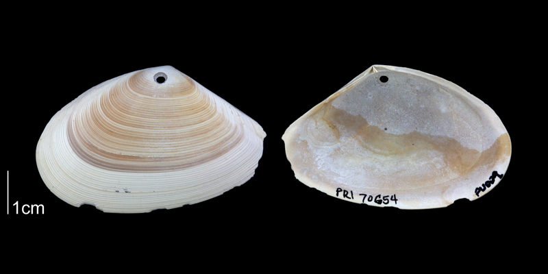 <i>Ameritella versicolor</i> from the Plio-Pleistocene Nashua Fm. of Putnam County, Florida (PRI 70654).