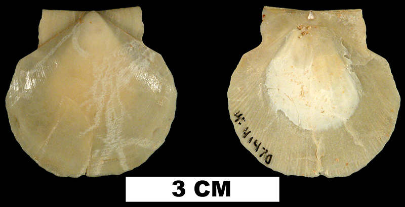 <i>Amusium precursor</i> from the Early Miocene Chipola Fm. of Calhoun County, Florida (UF 41470).