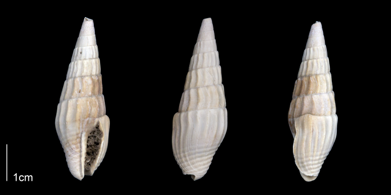<i>Anachis clavatula</i> from the Late Pliocene Tamiami Fm. (Pinecrest Beds) of Sarasota County, Florida (PRI 70254).