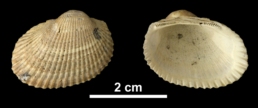 <i>Anadara aequicostata</i> from the Early Pleistocene Waccamaw Fm. of Brunswick County, North Carolina (PRI 69925).