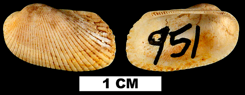 <i>Anadara acompsa</i> from the Early Miocene Chipola Fm. of Calhoun County, Florida (UF 95209).