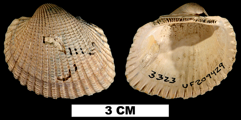 <i>Anadara alumensis</i> from the Late Pliocene Jackson Bluff Fm. of Leon County, Florida. (UF209429)