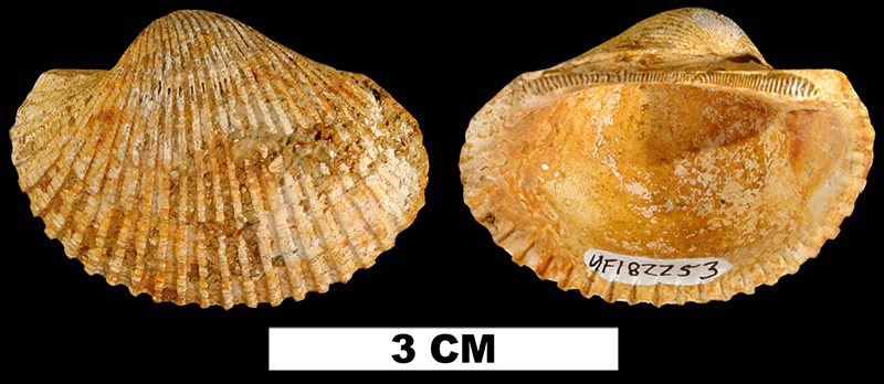 <i>Anadara aresta</i> from the Late Pliocene Jackson Bluff Fm. of Leon County, Florida (UF 182253).