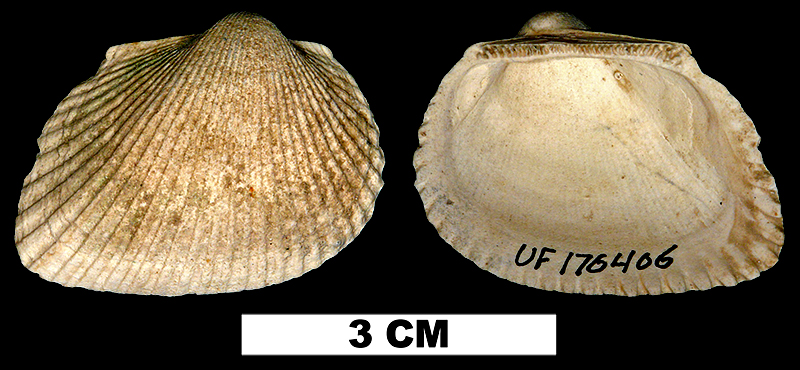 <i>Anadara callicestosa</i> from the Pliocene Tamiami Formation (Pinecrest Beds) of Sarasota County, Florida (UF 176406).