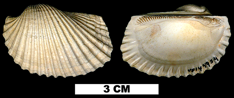<i>Anadara campsa</i> from the Late Pliocene Jackson Bluff Fm. of Leon County, Florida. (UF144954)
