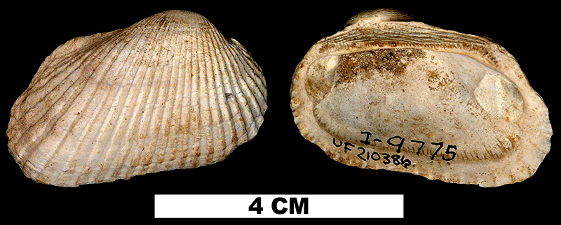 <i>Anadara campyla</i> from the Early Pleistocene Caloosahatchee Fm. of Glades County, Florida (UF 210386).