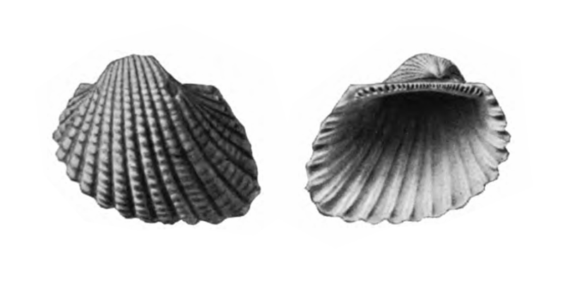 Specimen of <i>Anadara cardioides</i> figured by Gardner (1926, pl. 6, fig. 9 and 10); 9.0 mm in length.
