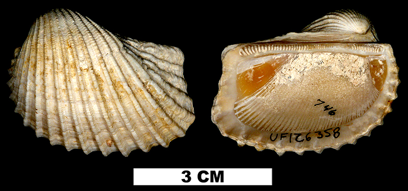<i>Anadara catasarca</i> from the Middle Pleistocene Bermont Fm. of Palm Beach County, Florida (UF 126358).