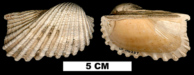 <i>Anadara hoerleae</i> from the Late Pliocene Tamiami Fm. (Pinecrest Beds) of Sarasota County, Florida (UF 176237).