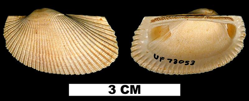 <i>Anadara hypomela</i> from the Early Miocene Chipola Fm. of Calhoun County, Florida (UF 73053).