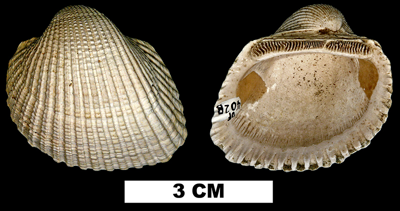 <i>Anadara idonea</i> from the Late Pliocene Jackson Bluff Fm. of Leon County, Florida (UF 4028).