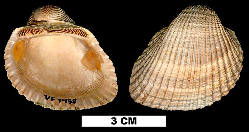 <i>Anadara idonea harveyensis</i> from the Late Pliocene Jackson Bluff Fm. of Leon County, Florida (UF 7458).