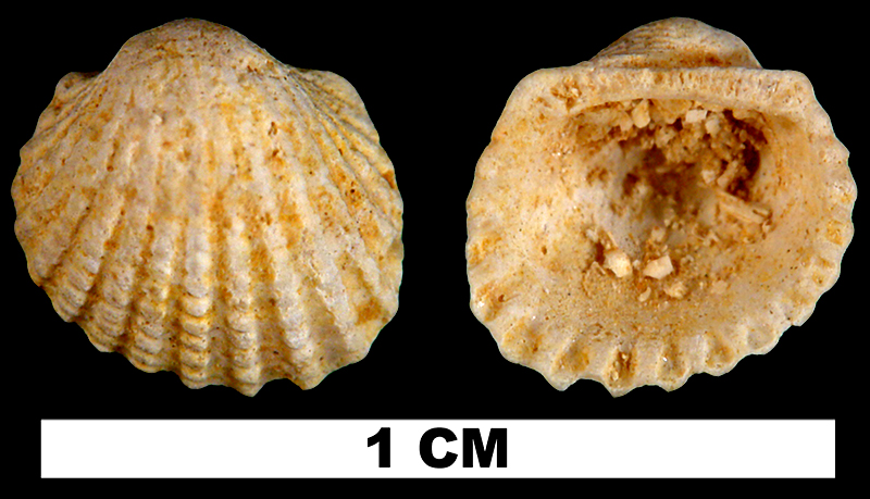 <i>Anadara initiator</i> from the Early Miocene Chipola Fm. of Calhoun County, Florida (UF 114181).