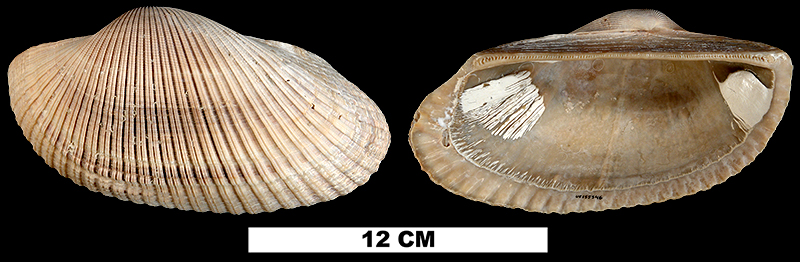 <i>Anadara lienosa</i> from either the Early Pleistocene Caloosahatchee Fm. or Middle Pleistocene Bermont Fm. of Palm Beach County, Florida (UF 155546).
