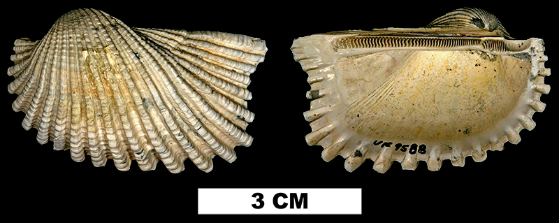 <i>Anadara notoflorida</i> from the Plio-Pleistocene (formation unknown) of Saraosta County, Florida (UF 9588).