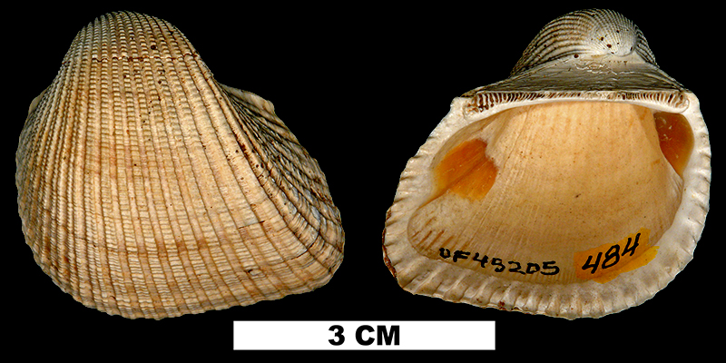 <i>Anadara santarosana</i> from the Early Miocene Chipola Fm. of Calhoun County, Florida (UF 45205).
