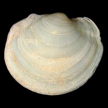 Anodontia alba