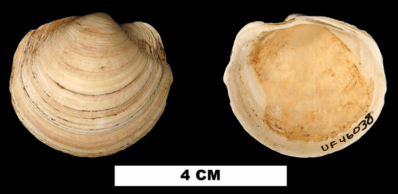 <i>Anodontia santarosana</i> from the Middle Miocene Shoal River Fm. of Walton County, Florida (UF 46038).