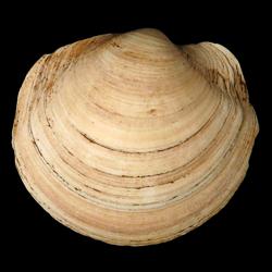 Anodontia santarosana
