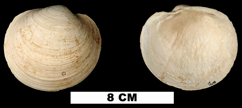 <i>Pegophysema schrammi</i> from the Pleistocene (formation uncertain) of Glades  County, Florida (UF 15698).