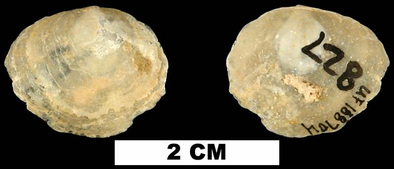 <i>Anomia microgrammata</i> from the Early Miocene Chipola Fm. of Calhoun County, Florida (UF 188704).