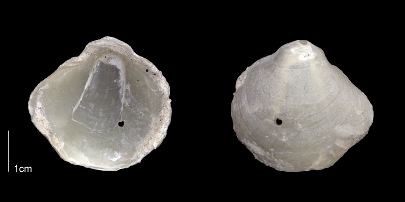 <i>Anomia simplex</i> from the upper Pliocene Tamiami Fm. (Pinecrest Beds) of Sarasota County, Florida (PRI 70162).