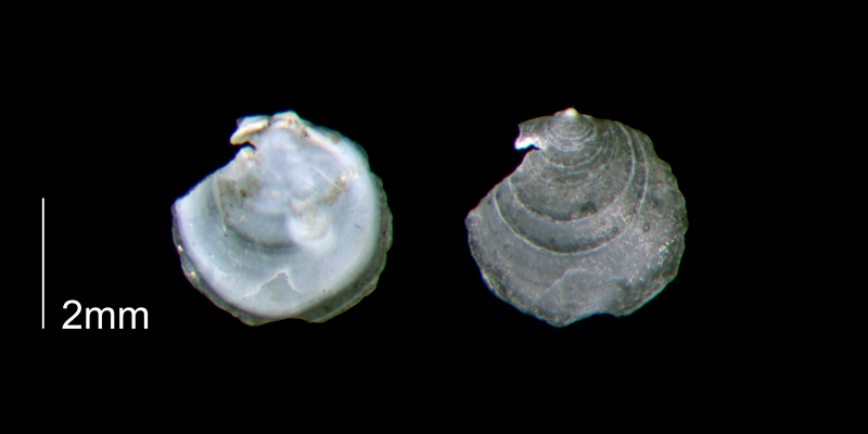 <i>Anomia simplex</i> from the lower Pleistocene Waccamaw Fm. of Brunswick County, North Carolina (PRI 70449-1).