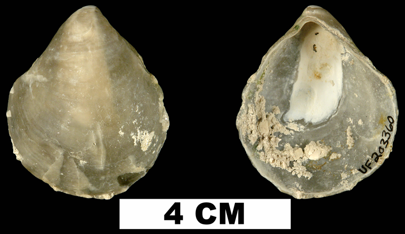 <i>Anomia simplex</i> from the lower Pleistocene Nashua Fm. of Putnam County, Florida (UF 203360).