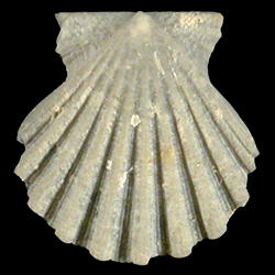 Antillipecten