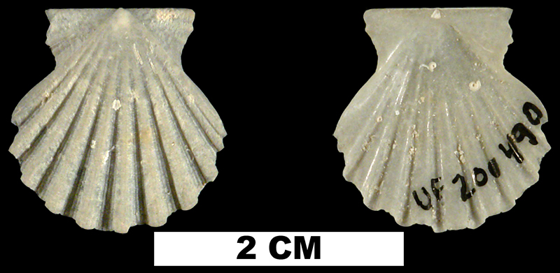 <i>Antillipecten antillarum</i> from the Middle Pleistocene Bermont Fm. of Palm Beach County, Florida (UF 200490).