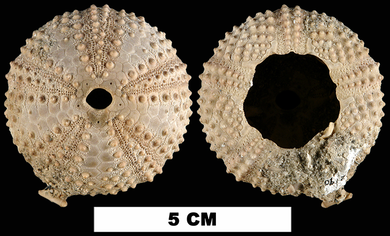 <i>Arbacia punctulata</i> from the Late Pleistocene Anastasia Fm. of St. Lucie County, Florida (UF 112190).