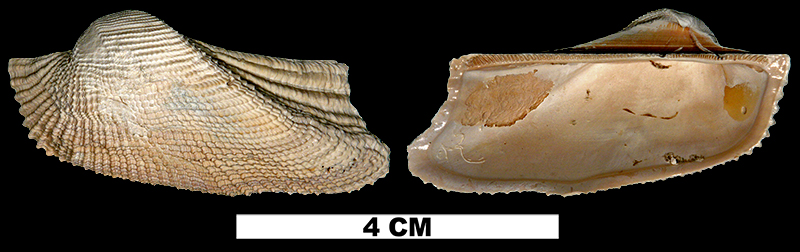 <i>Arca aquila</i> from the Pleistocene (formation unknown) of Glades County, Florida (UF 47029).